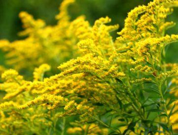 5 nyári növény, amitől kialakulhat az allergiád