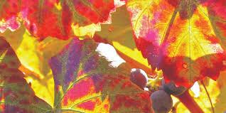 vörösszőlőlevél-kivonat
